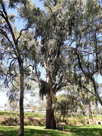 400 year old river red gum